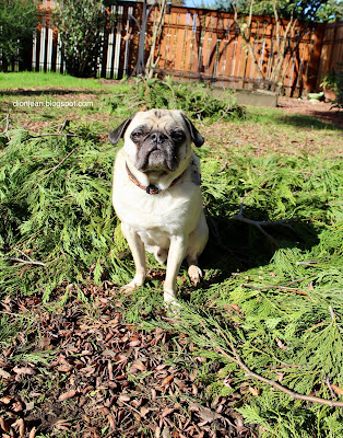 Pug in the yard with a DSLR camera