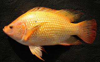 Umpan-Ikan-Nila-Merah