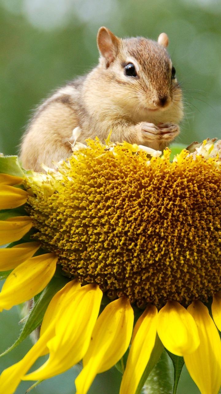 A chipmunk eating sunflower seeds.