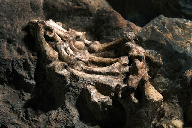 South African skeleton shows humans learnt to walk upright in the trees