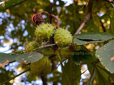 Horse chestnut fruits-spiky capsules closeup