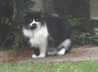 Long-haired black and white cat with prominent black moustache