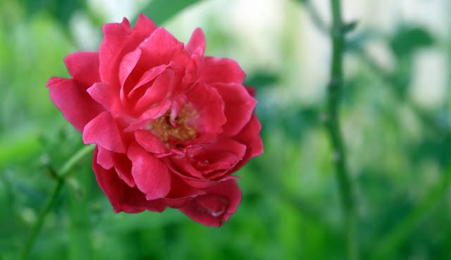 Bunga Mawar Yang Indah Dari Wisata Suroloyo, Yogyakarta