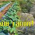 วิธีการปลูกฟักทอง!! ให้ได้ผลผลิตดี พร้อมสูตรปุ๋ยหมักเร่งการเจริญเติบโตของพืช (ควรเแชร์เก็บใว้)