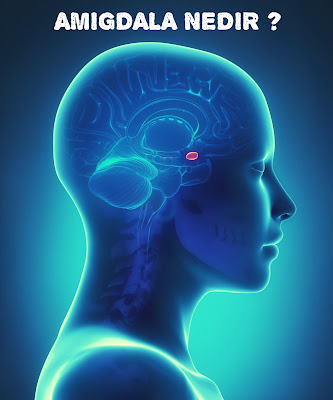 Amigdalanın fonksiyonu