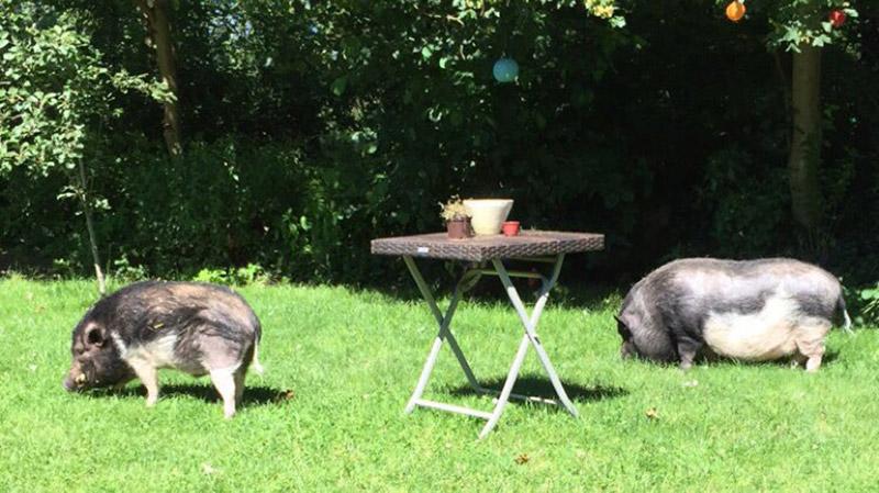 KuneCoco • Schweinelovestory #17 • Sammi und Bruno