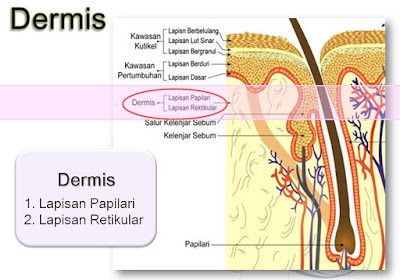struktur dermis