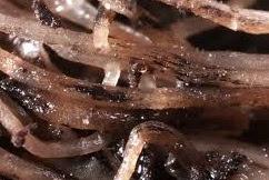 urban hidroponik, hama penyakit hidroponik