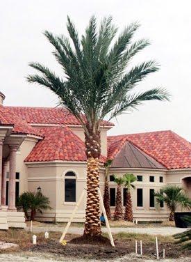 A Quality Plant Medjool Date Palms Wholesale Palm Trees