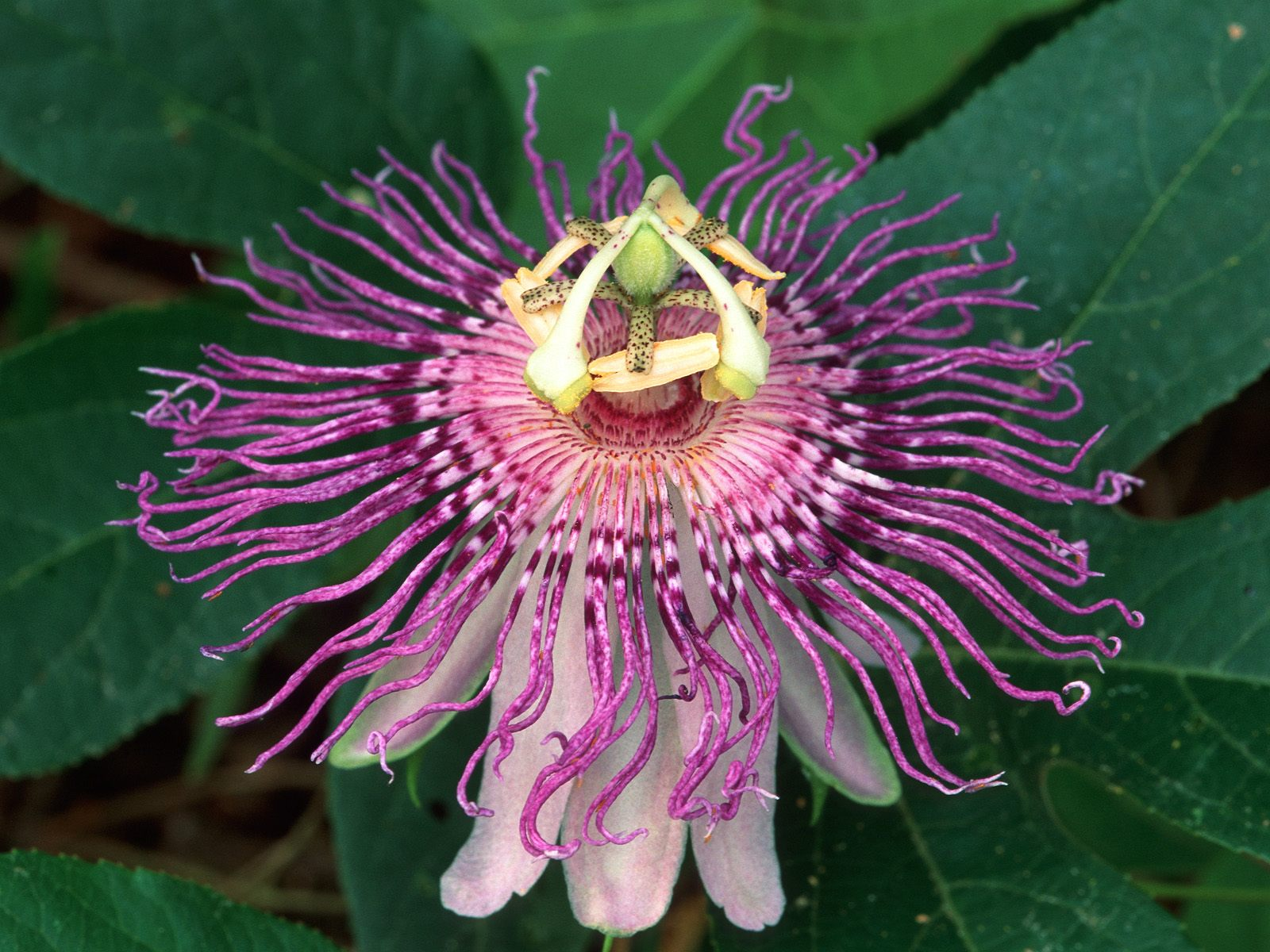 Passion Flower Hydrangea Pictures Tulips Floral