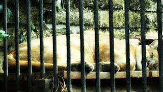Puma no Parque Zoológico de Sapucaia