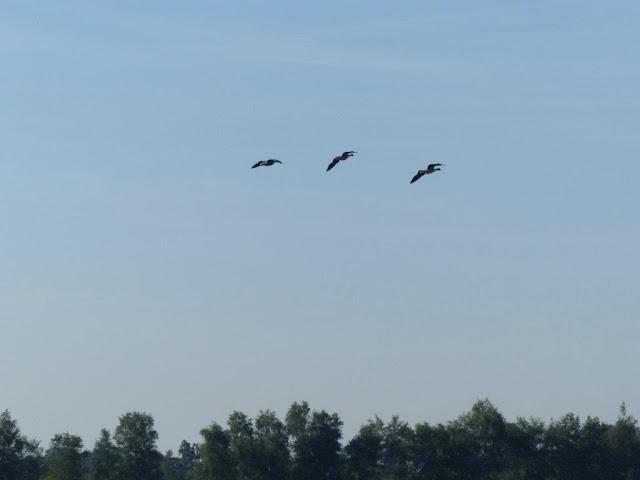 Zwillbrocker Venn Vreden Münsterland niederländische Grenze Flamingos freilebend nördlichste Kolonie Nordrhein-Westfalen