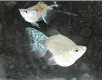 Ikan Hias Air Tawar Jenis Balon putih