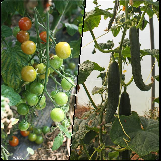 tomates cerise et concombres  de  la ferme de Servigny