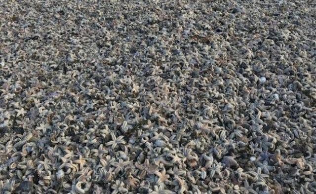 Pertanda Apa Ribuan Bangkai Bintang Laut di Temukan di Pantai Inggris