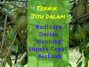 Manfaat Plastik Uv - Teknik Jitu Dalam Budidaya Durian Montong Semoga Cepat  Berbuah