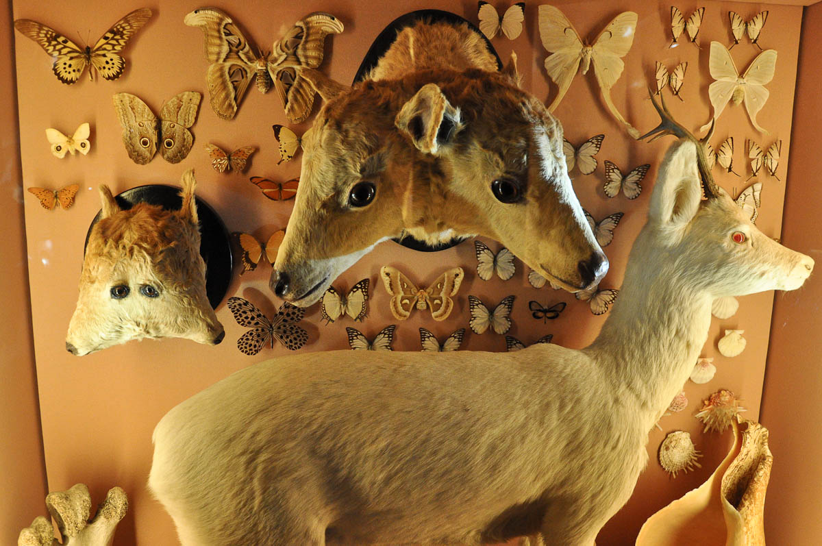 Display with animal Siamese twins, Natural History Museum, Venice, Italy