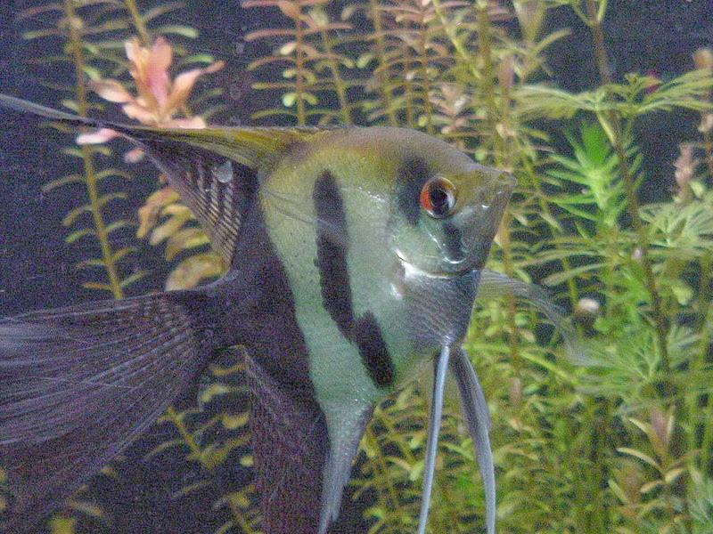 Akvaryum melek balığı hakkında bilgi