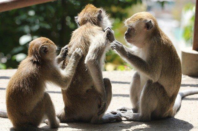 Cacar Monyet