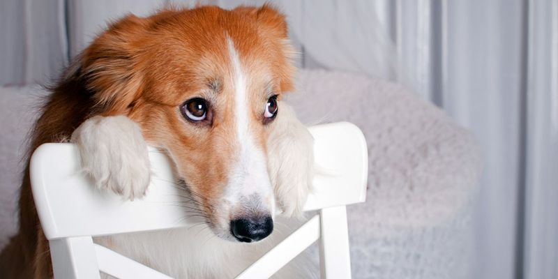 Πώς θα συστήσεις τον ντροπαλό σκύλο σου σε νέους ανθρώπους!