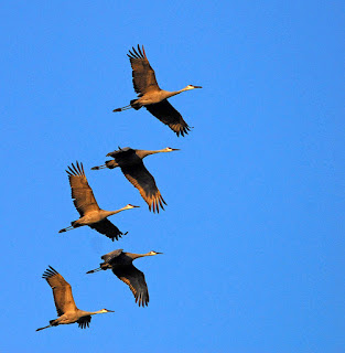 fall geese in flight