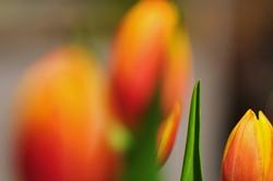 Fokus auf dem Blatt links von rechter Tulpenknospe...