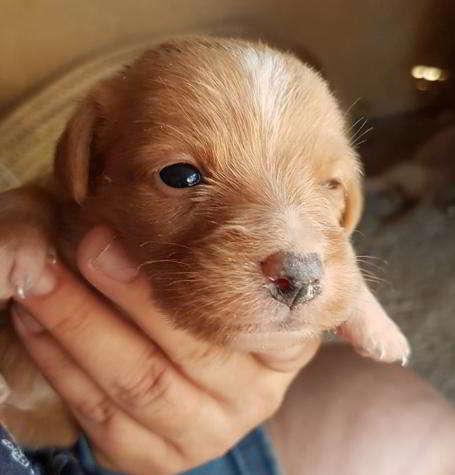 cachorro de talla pequena
