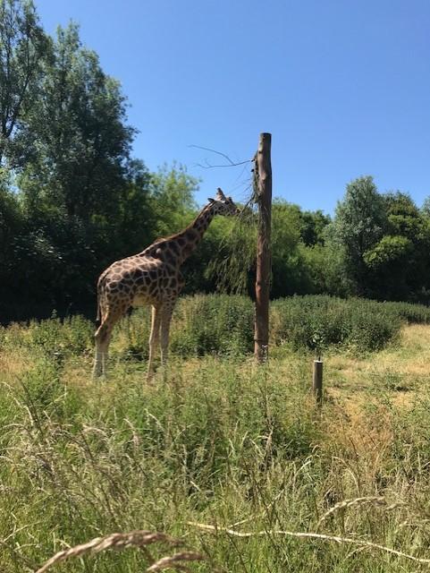 Giraffe eating from a tree