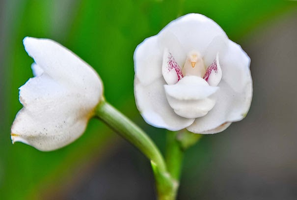 Dove Orchid Or Holy Ghost Orchid (Peristeria Elata) - 17 Flowers That Look Like Something Else