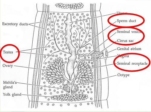 Vas Deferens Fetal Pig Diagram