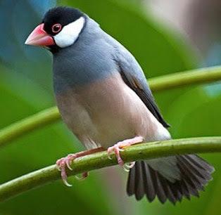 Mengenal Dekat Jenis Burung Gelatik Jawa