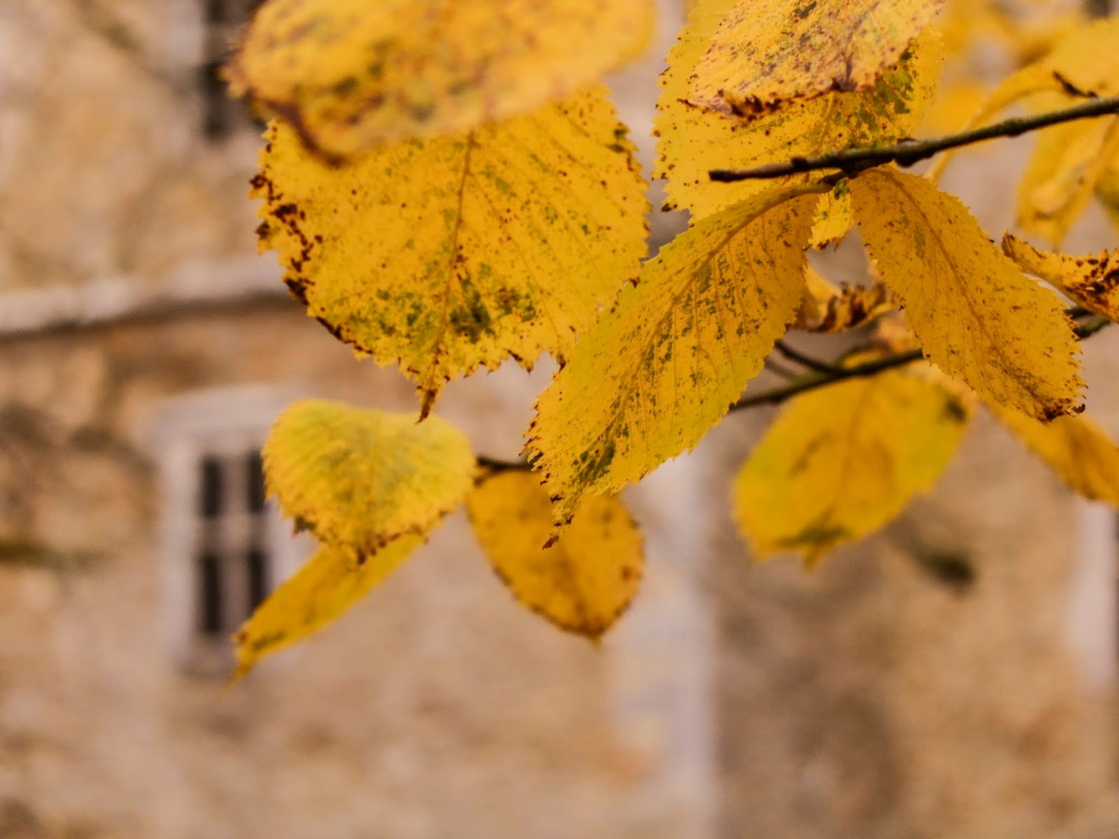 Yellow leaves on tree branches outside Kanturk Castle, Co.Cork.