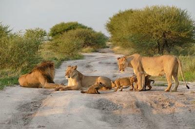 Jangan kau ganggu singa yg terluka