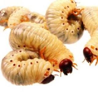 cara budidaya maggot pakan ikan murah,cara budidaya maggot media air,cara budidaya maggot untuk pakan lele,cara budidaya maggot dengan dedak,cara ternak maggot,cara membuat belatung,