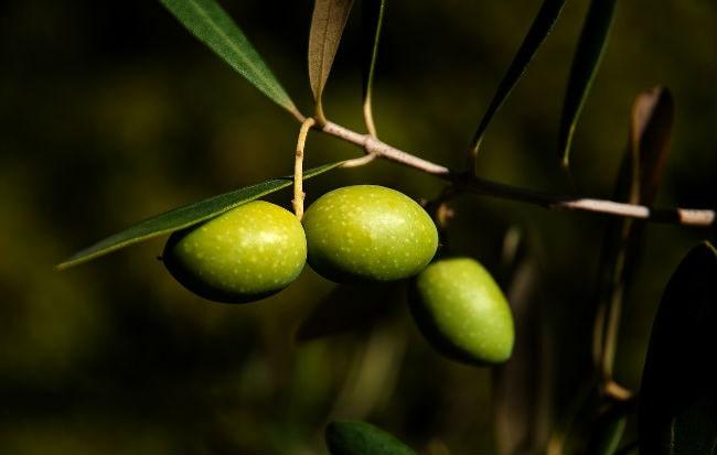 Olive da cui si ricava olio extravergine