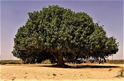 Pohon Sahabi di Yordania
