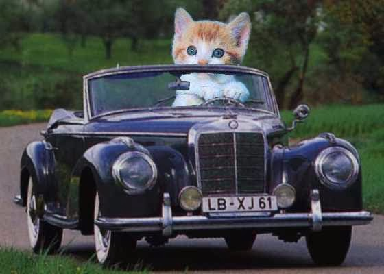 gato-coche-automovil-carro
