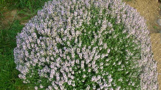 Propiedades y beneficios medicinales del tomillo agro for Como evitar que salga hierba en el jardin