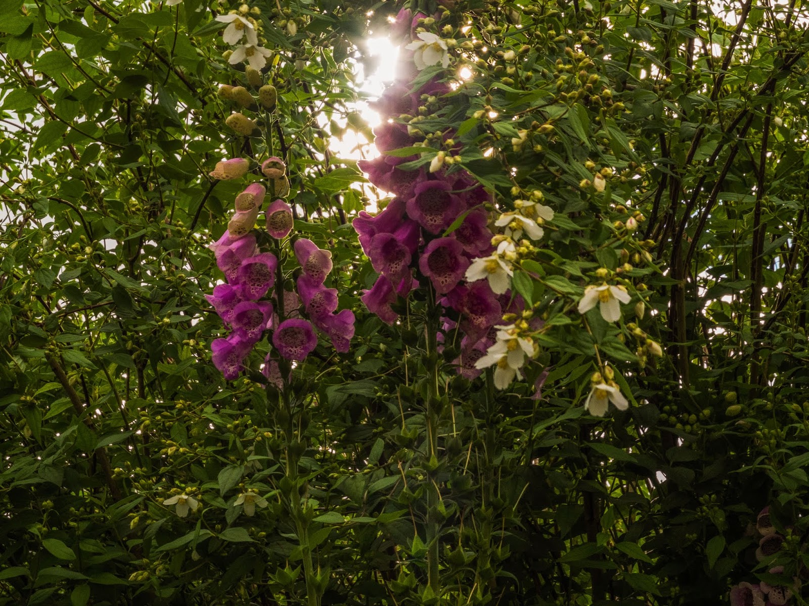 Pink foxgloves at sunset in front of a Jasmine bush.