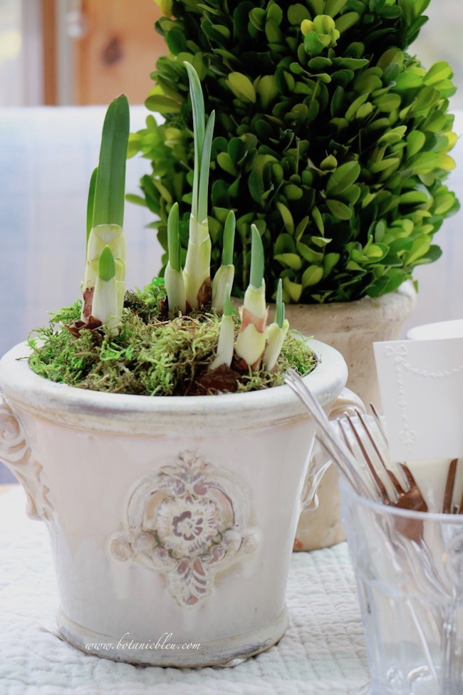 French gardener gift guide includes paperwhite bulbs for forcing in a French style flower pot