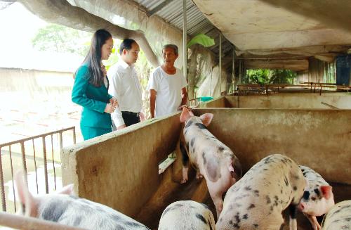 Kienlongbank giảm lãi suất vay cho các hộ chăn nuôi heo