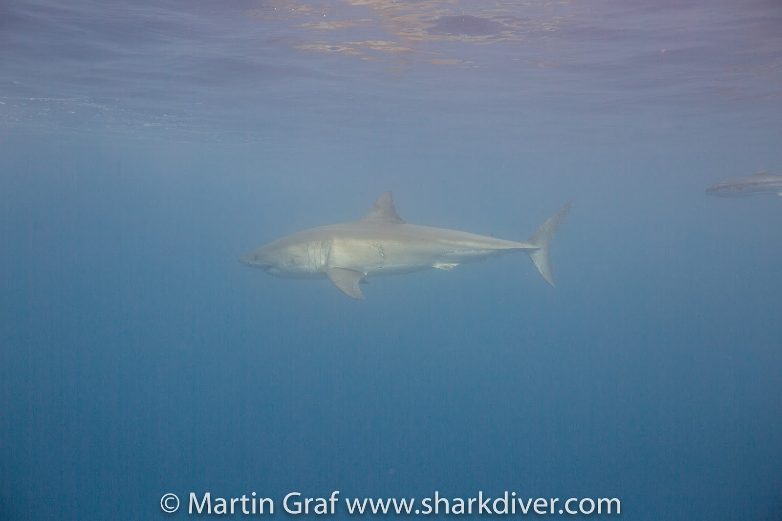 which sharks are back at guadalupe island sharkdiver  107 atlantis he was the first shark that showed up on day one and stayed around all day