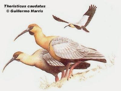 Bandurria boreal: Theristicus caudatus