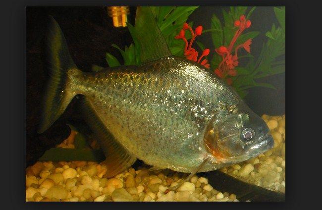 ikan piranha terbesar