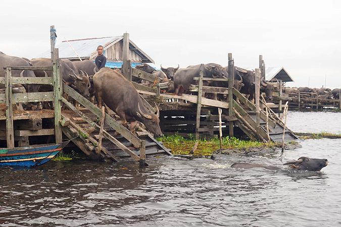 Dlium.com Swamp water buffalo (Bubalus bubalis carabanensis) spend entire lives in water at Danau Panggang