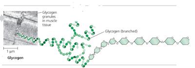 Glikogen adalah, polisakarida glikogen, glikogen pada hati dan otot, cadangan makanan pada hewan dan manusia, glikogen dan monomernya.