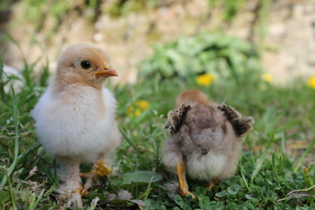 Chamois and Partridge Frizzle Cochin Chicks organically raised