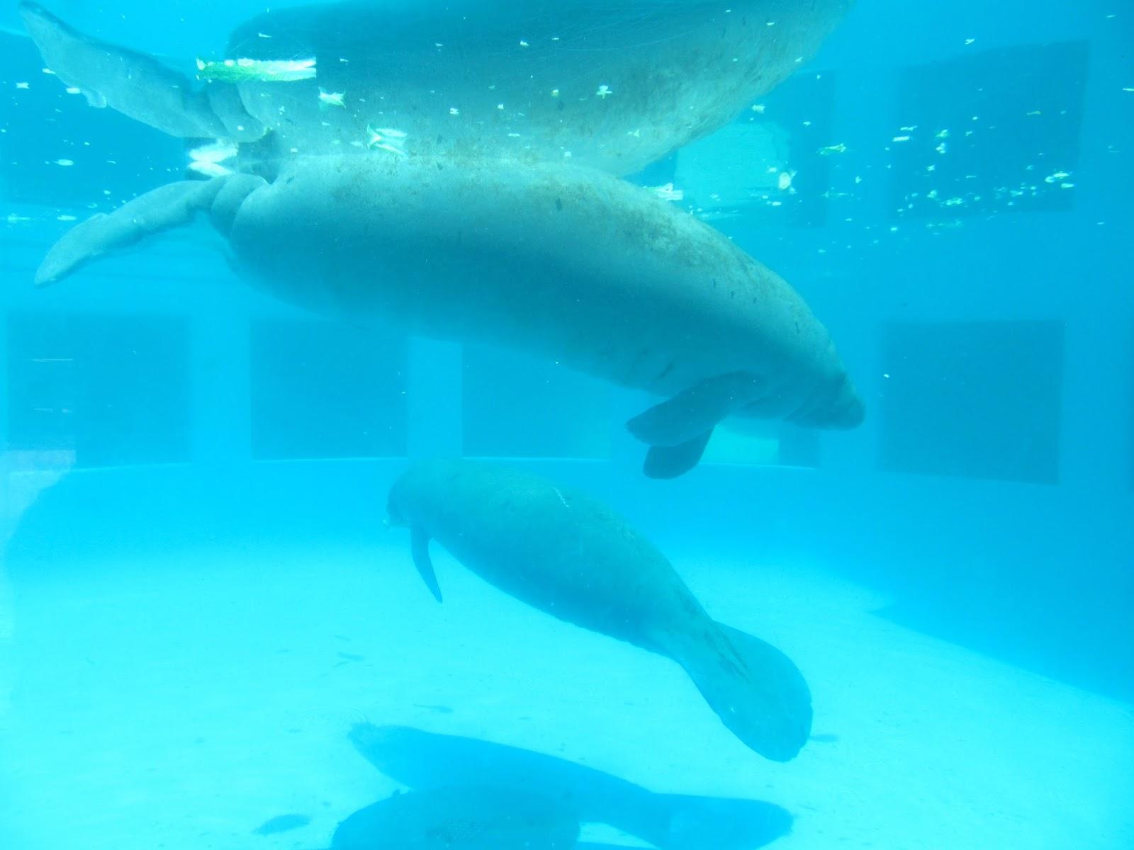 Manatees at Miami Seaquarium, FL - ouroutdoortravels.blogspot.com