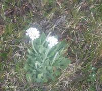 Spring flower, Patagonia