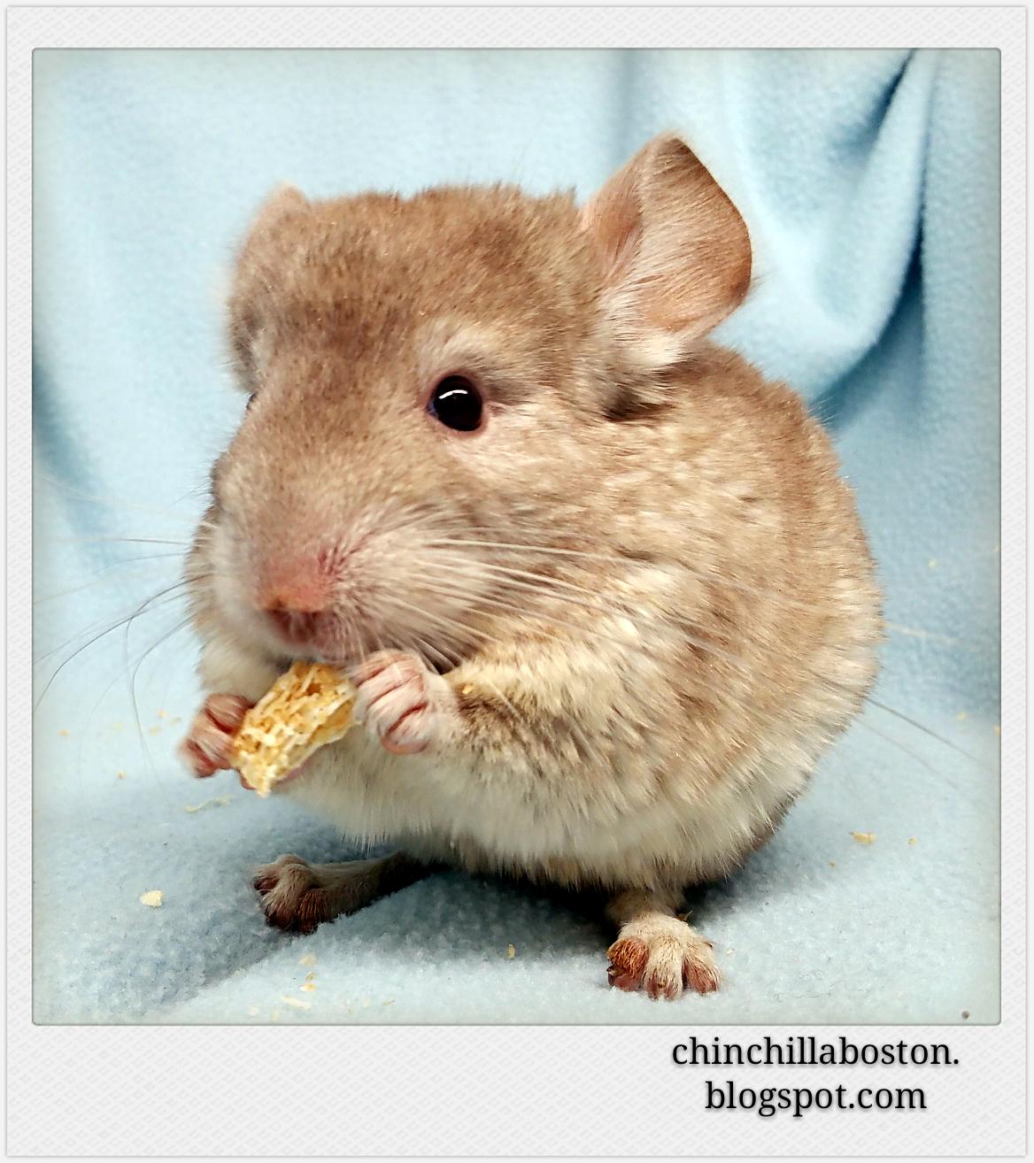 Chinchilla Boston: Adopted (Wagashi)
